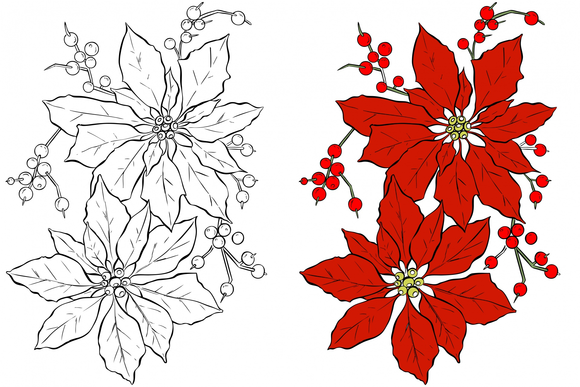 poinsettia flower coloring free stock photo public domain pictures poinsetta activities coloring pages Poinsetta Coloring Page