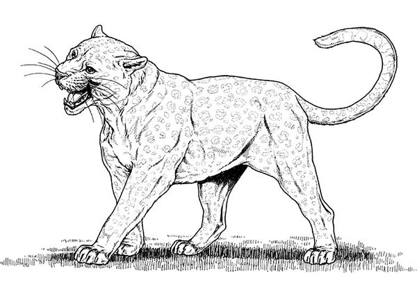 animal templates free premium lion coloring dog cougar crayola pack dragon printable coloring pages Cougar Coloring Page