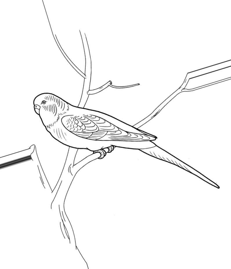 coloring budgie parrot print parakeet volnistyy popugaychik frozen anna kids art and coloring pages Parakeet Coloring Page