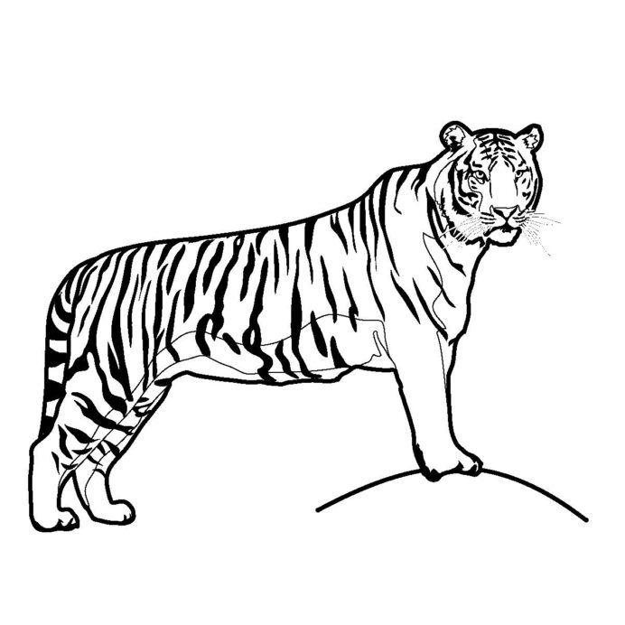 drawing for kids print tiger peepsburgh free printable pictures crayola magnetic board coloring pages Free Printable Tiger Pictures