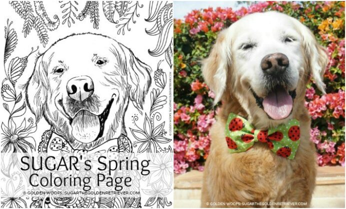 free printable coloring from sugar the golden retriever daily spring thanksgiving pdf coloring pages Golden Retriever Coloring Page