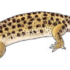 gecko leopard coloring color72 thanksgiving frame draw rope bridge redbutler in sport for coloring pages Leopard Gecko Coloring Page