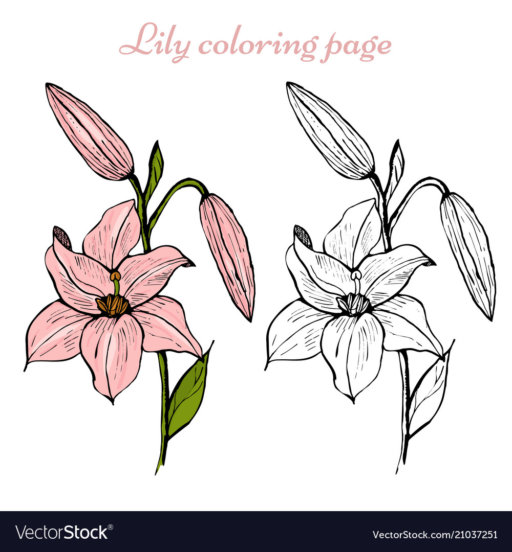 lily flower coloring royalty free vector image heart islam color diy drawings ideas on coloring pages Lily Coloring Page