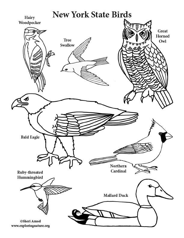 new state birds coloring birds72 leaf man activities christmas carol lesson plan crayola coloring pages New York State Coloring Page