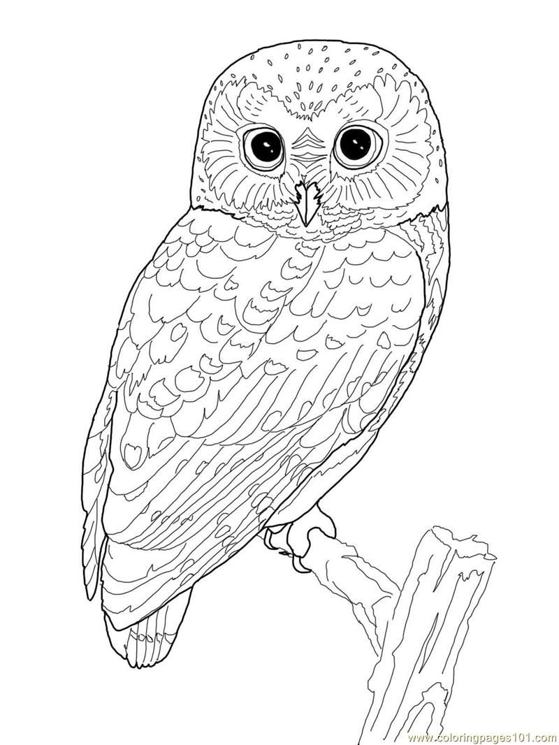 pin by carla falcocchio on olivia owl party coloring animal detailed watercolor crayon coloring pages Coloring Page Owl