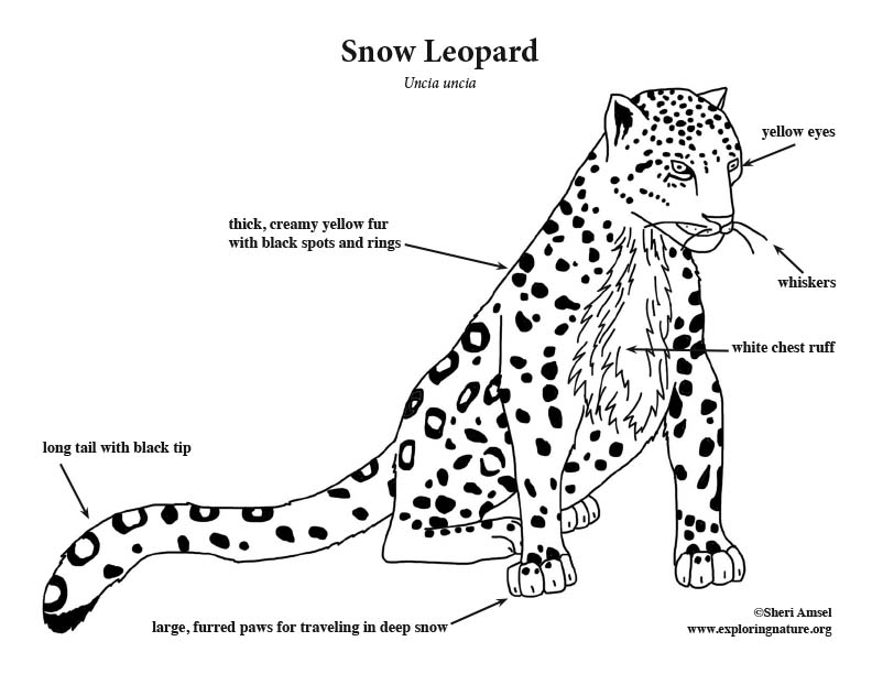 snow leopard coloring kids sheets trucks non staining dry erase boards black friday coloring pages Leopard Coloring Page